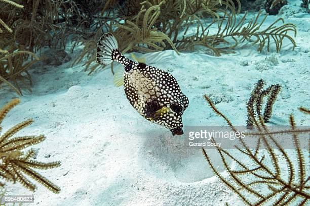SMOOTH TRUNKFISH FEEDING IN SAND