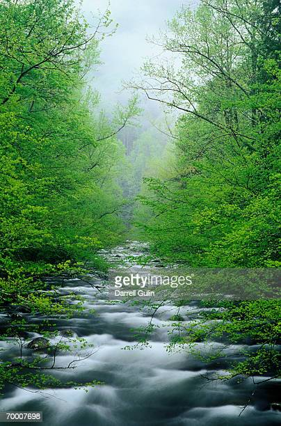 USA,TENNESSEE,GREAT SMOKY MOUNTAINS NAT'L PARK, SUGAR MAPLES
