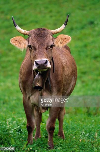 SWISS BROWN COW (BOS TAURUS) ON GRASS