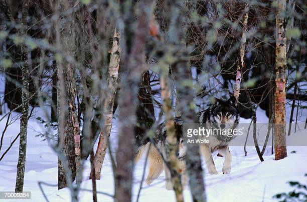 GREY WOLVES (CANIS LUPUS) IN FOREST