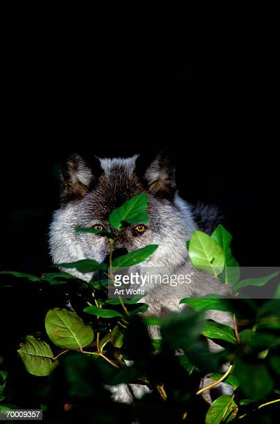 GREY WOLF (CANIS LUPUS) IN FOREST