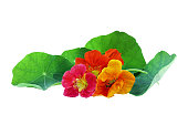 Red, orange, and yellow Nasturtium flowers isolated on a white background with clipping path included. Available copy space for text.