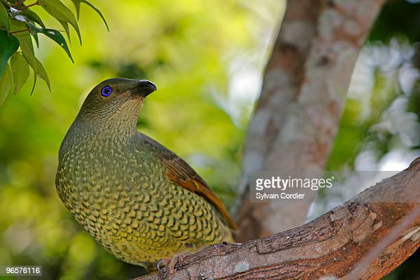SATIN BOWERBIRD . FEMALE