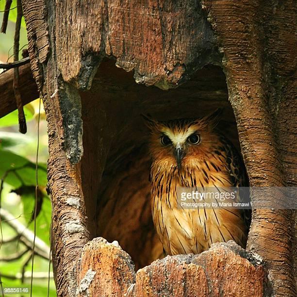 OWL IN NEST HOLE IN TREE TRUNK