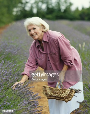 MATURE WOMAN PICKING LAVENDER IN LAVENDER FIELD, PROVENCE, FRANCE : Stock Photo