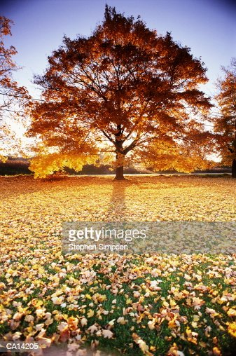 FALLEN LEAVES AROUND MAPLE IN AUTUMN, ITHACA, NEW YORK : Stock Photo