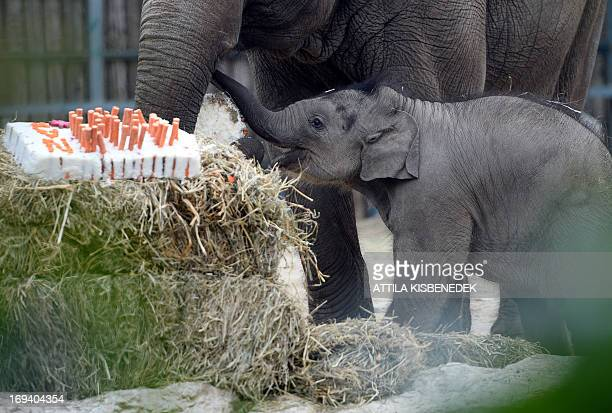 A 100dayold baby elephant walks with its French mother Angele to celebrate its first100 days by a gigant rice carrots and beetroot cake at Budapest...