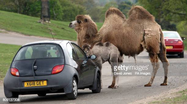 10dayold April the newborn Bactrian camel with her mother Dawn stopping traffic at West Midlands Safari Park