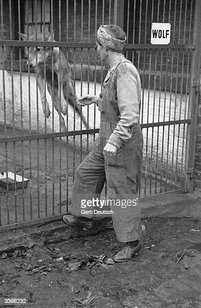 A wolf and its keeper at the Vienna Zoo Original Publication Picture Post 4471 In Vienna Today A Foreign Correspondents Life pub 1948