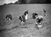 Benedictine monks collecting potatoes in a field at the Prinknash Monastery near Gloucester