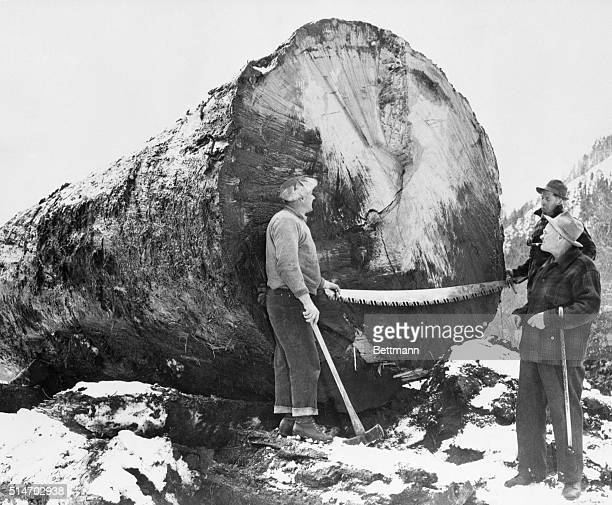 1/15/50Elbe Washington Robert Lutkens and Ralph Wiegard stand by to let the owner of this giant Douglas fir tree Charles Lutkens Robert's father get...