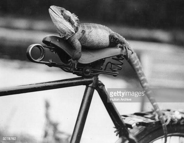 An Australian Water Dragon takes a seat on the bicycle belonging to a farm assistant at reptile park in Hertfordshire