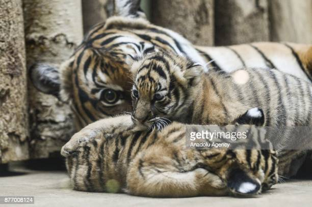 11yearold Malayan tiger Banya is seen with her twin cubs at their enclosure at Prague Zoo Prague Czech Republic on the November 21 2017 On October 03...