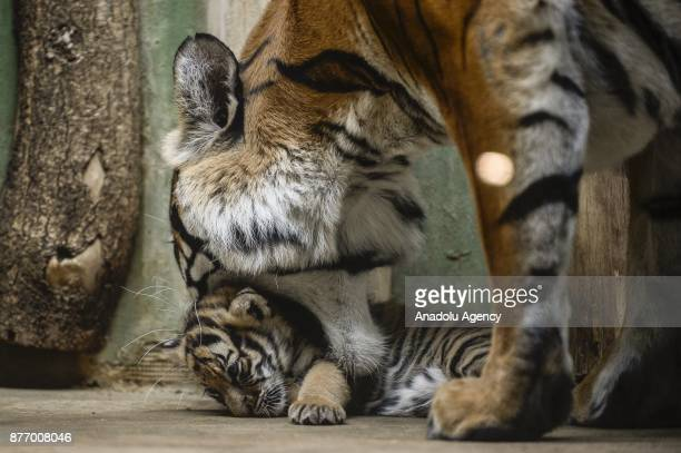 11yearold Malayan tiger Banya is seen with one of her twin cubs at their enclosure at Prague Zoo Prague Czech Republic on the November 21 2017 On...