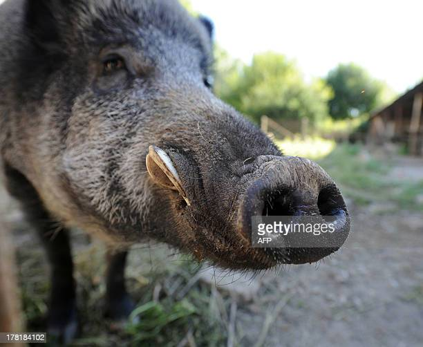 A 120kg boar named Reno is pictured on August 27 2013 in Limoges central France The Prefect of HauteVienne recently authorized the detention by a...