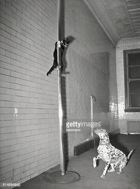 1/26/1941New York NY Henry fellow mascot of Engine Company No 65 New York Fire Department slides the brass pole from the bunkroom in authentic...
