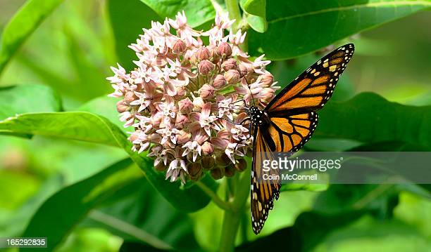 JUNE 12th 2012pics of Monarch butterfly on common milkweed Horticulturalist Colleen Cirillo of the Toronto and Region Conservation Autority takes us...