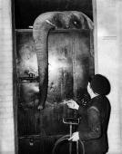 A fourteen year old African elephant called Diskie recovers in a private heated enclosure after being pushed into the eightfoot deep moat that...