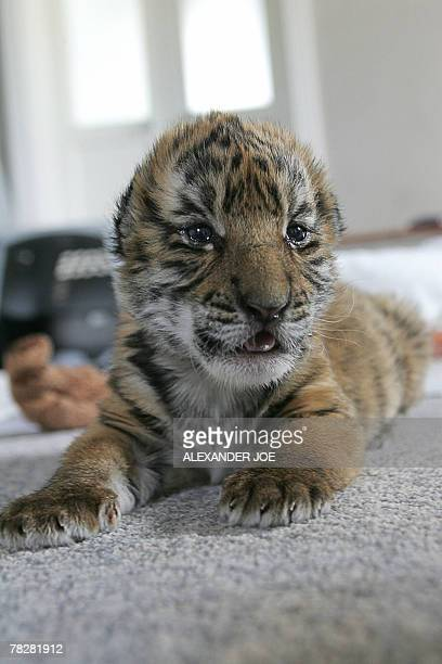 A 13dayold South China tiger cub is pictured 06 December 2007 in Philippolis The cub is the first of his species to be born in captivity outside of...