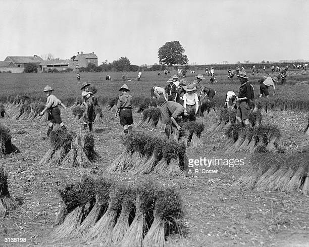 Boy Scouts help with the harvest during World War I picking flax and tying it into bundles