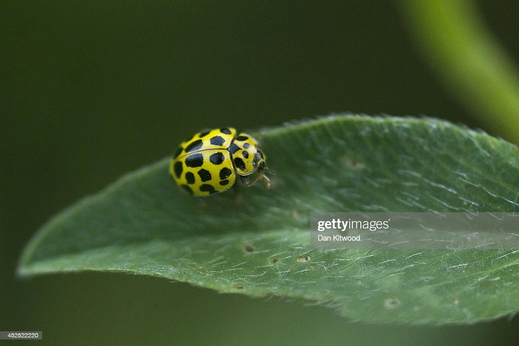 A 14-spot ladybird sits on a leaf in Ladywell Park on July 21, 2014 in London, England. Many insects can be seen emerging during the summer months in local urban parks in the heart of the capital. As flowers come in to full bloom, butterflies, moths, bees and other insects play a vital role in the food chain by pollinating plants, and providing a source of food for predators such as bats.