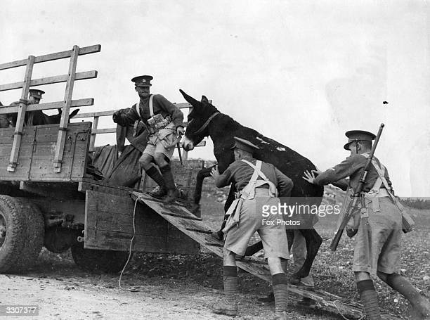 Men of the 1st Battalion of the Essex Regiment loading donkeys on to a truck in the Safad district of Palestine to be used for transport in the hilly...