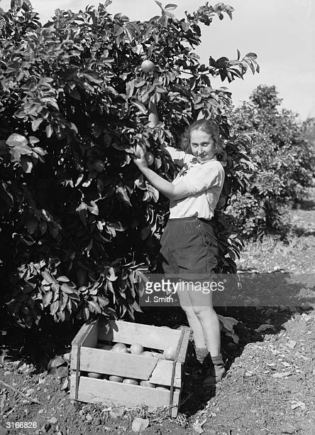 A girl worker in a kibbutz at Ein Herod in Palestine picking grapefruit