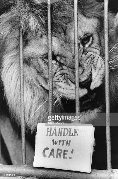 Pasha the lion prepares to leave for South Africa with Gerry Cottle Circus The warning notice on his cage seems just right