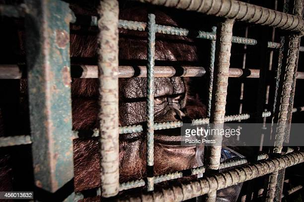A 15year old Borneo Orangutan Tita Margareta a female orangutan was seized from a residential house by the provincial Nature Resource's Conservation...