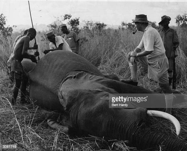 Tribesmen cutting the choicest steaks from the rump of a dead elephant Original Publication Picture Post 5638 Sanders Of The River pub 1952