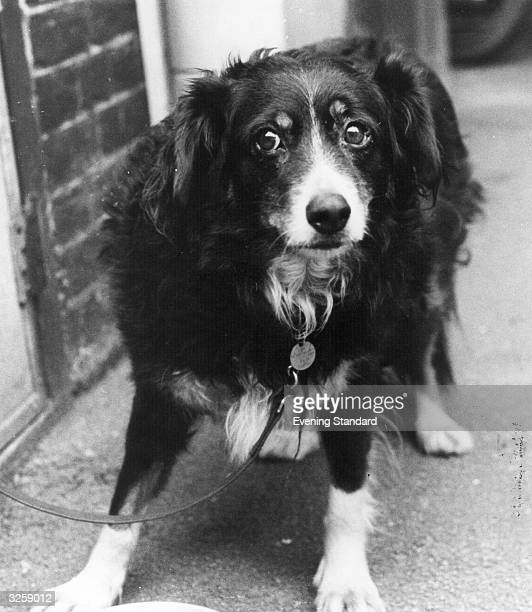 Judy a black collie whose owner was killed by a train when trying to retrieve her after she slipped her lead