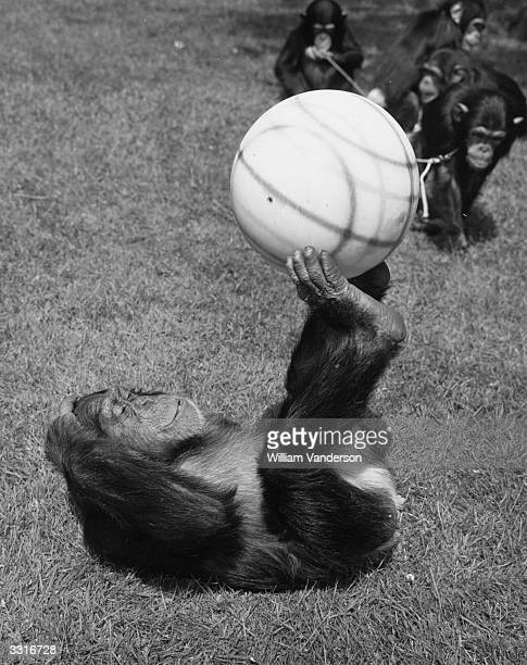 Josie a chimpanzee at London Zoo demonstrates her ball control during a game of football