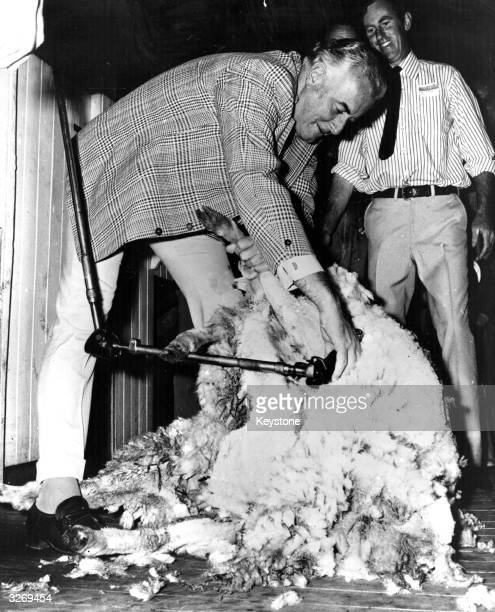 Australian prime minister Gough Whitlam trying his hand at sheep shearing during an election tour