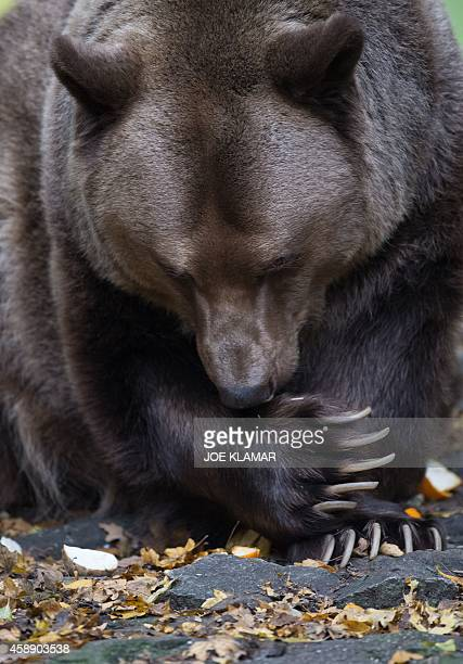 17yearold male brown bear Felix licks his paw in his enclosure at Bratislava's Zoo on November 13 2014 AFP PHOTO/JOE KLAMAR