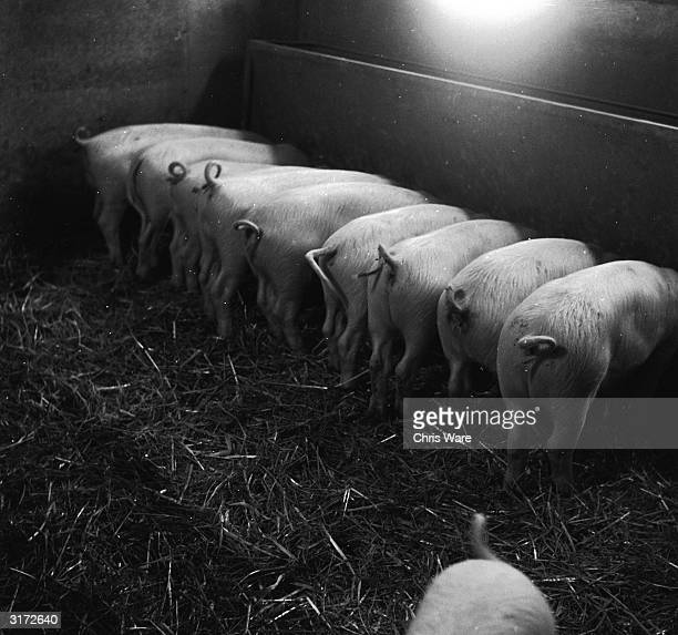 Piglets of the award winning Bearlander stud feeding from a trough on Scarletts Home Farm in Hare Hatch