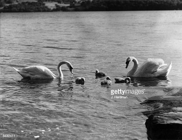 A group of swans and cygnets on Lake Windermere in the Lake District