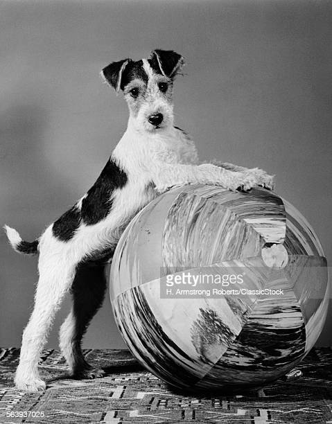 1940s TERRIER IN PLAYFUL...