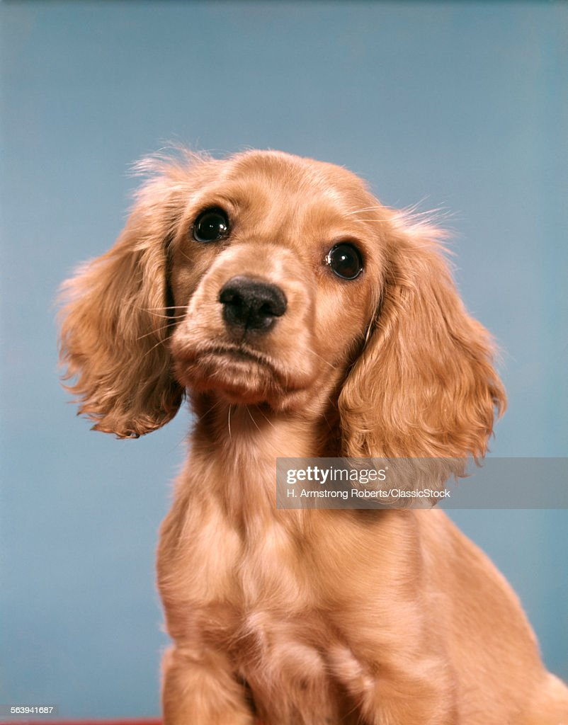 1960s CUTE COCKER SPANIEL...