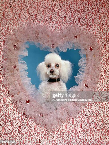 1960s DOG POODLE IN LACY...