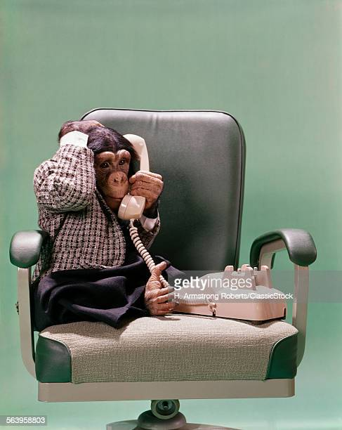 1970s CHIMPANZEE SITTING...