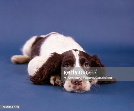 1980s SPRINGER SPANIEL DOG... : Stock Photo