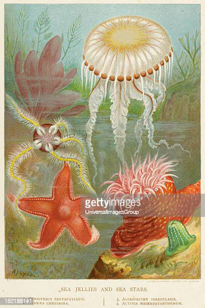 19th century depiction of a Star fish
