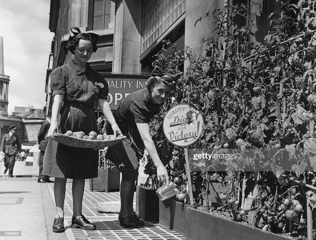 Waitresses from the 'Quality Inn' restaurant in Regent Street London watering and gathering tomatoes that are growing in boxes on the pavement as...
