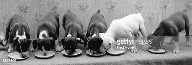 A line of boxer puppies drinking milk from their bowls An allwhite one deicides to pinch some of his neighbours food