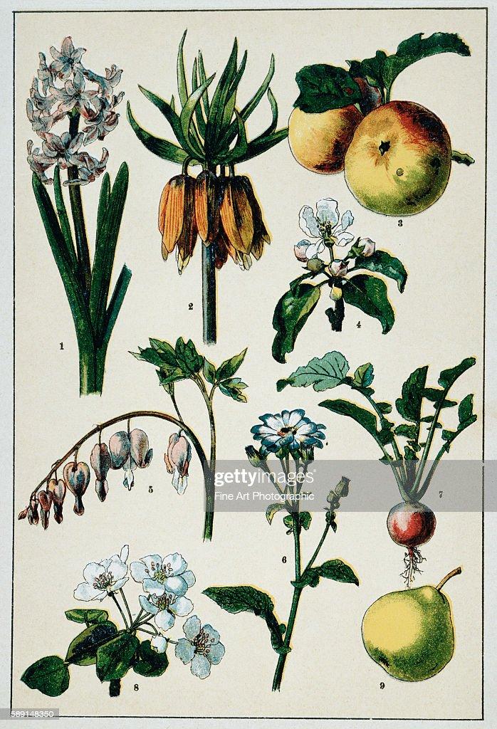 19thCentury French Botanical Print