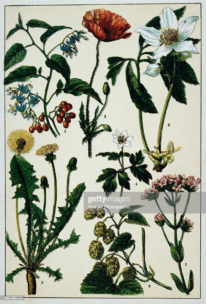 19thCentury German Botanical Print