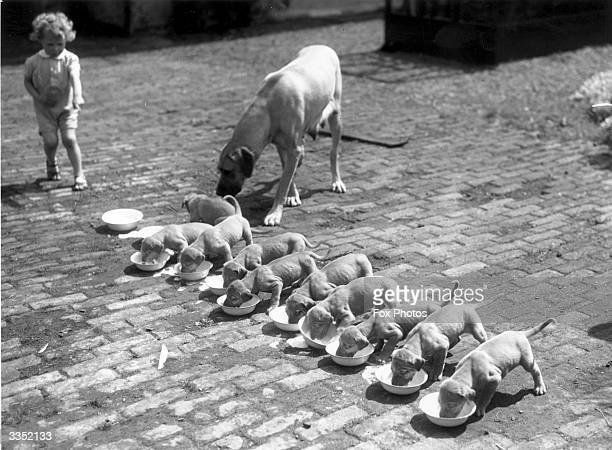 A line of Great Dane puppies drink milk from bowls while their mother looks on