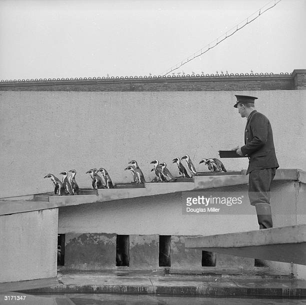 Zoo keeper Mr Scrivvener counting the penguins for the Annual Stocktaking at London Zoo