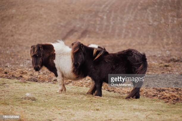 Two Shetland ponies graze on one of the Shetland Islands in June 1970