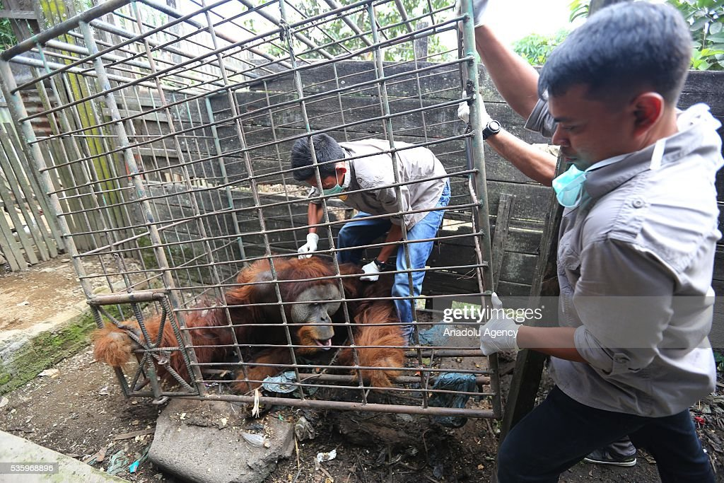A 20-year-old orangutan that was being captured on 1997 by the illegal smugglers is being carried by Natural Resources Conservation Center (BKSDA) along with Yayasan Orangutan Sumatera Lestari - Orangutan Information Centre (YOSL-OIC) to take to the Sumatran Orangutan Conservation Programme (SOCP) quarantine for the medical treatment in Karo District, North Sumatra, Indonesia, on May 30, 2016. The Orangutan lived at the backyard of a villager who bought the orangutan from smugglers to sell it yet failed after the fear of being arrested by the government. Later the owner of the orangutan passed away villagers began to feed the orangutan until it got sick and needed to moved from his cage.